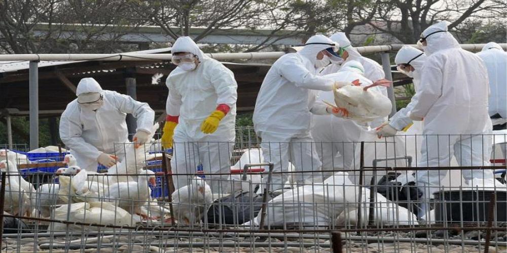 матч птичьего гриппа картинки для случае